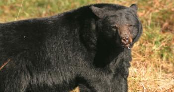 MNRF - Bear