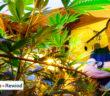 cannabis-2017-114