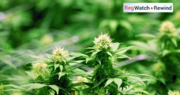 cannabis-2017-27