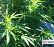 cannabis-2017-55