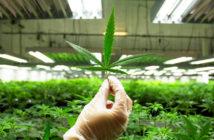 _0000s_0207_cannabis-2017-216