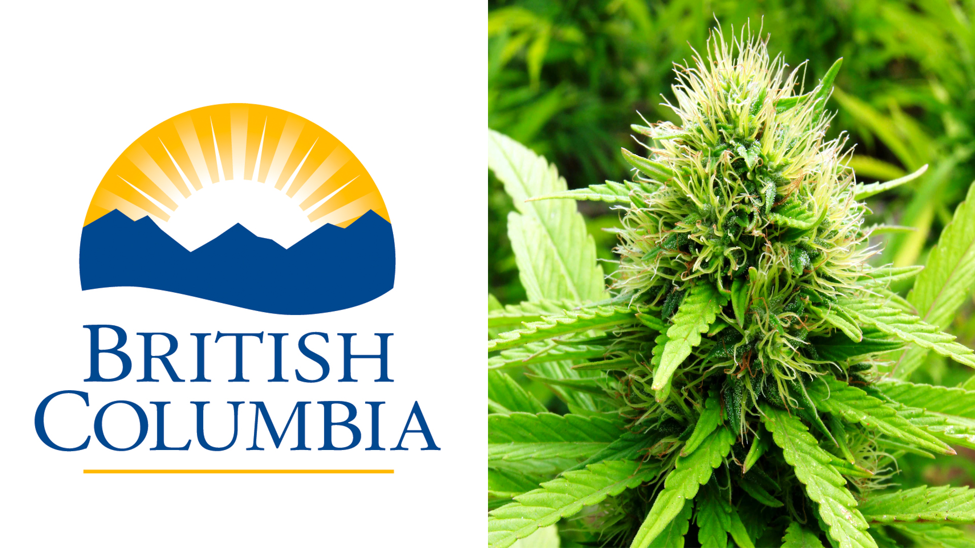 Image result for British Columbia Cannabis